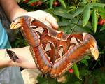 Fluture gigant