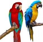 papagali 1