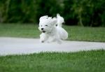 puppy-running